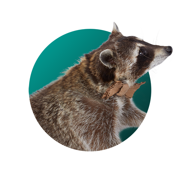 Raccoon - Carlos Cardboard