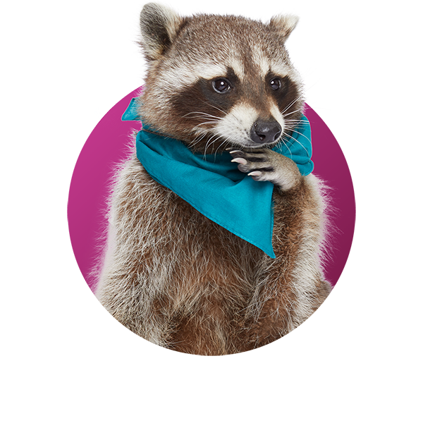 Raccoon - Frank