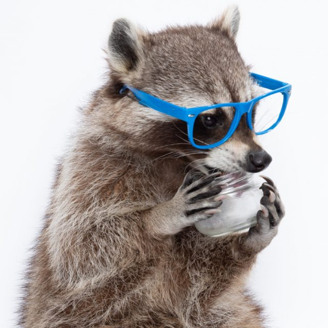 Gladys Glass - Recycling Racoon Holds a Glass Jar