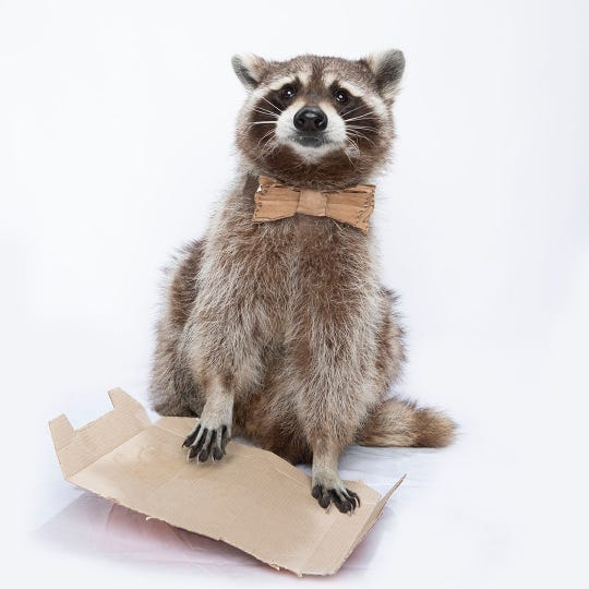 Carlos Cardboard - Recycling Racoon holds piece of cardboard