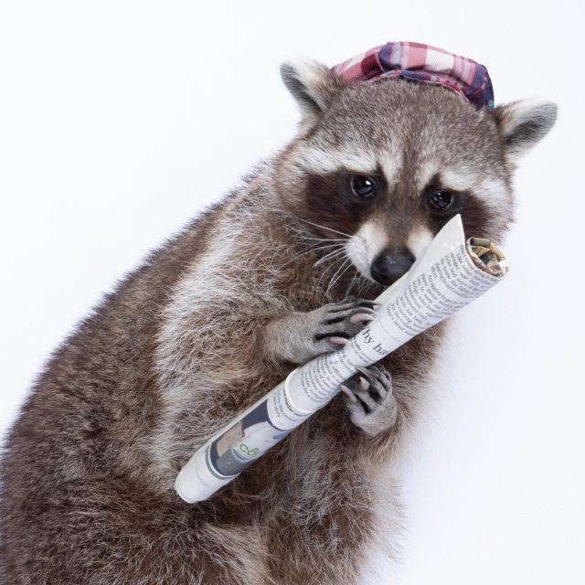 Paper McKay - Recycling Raccoon - holds a folded newspaper
