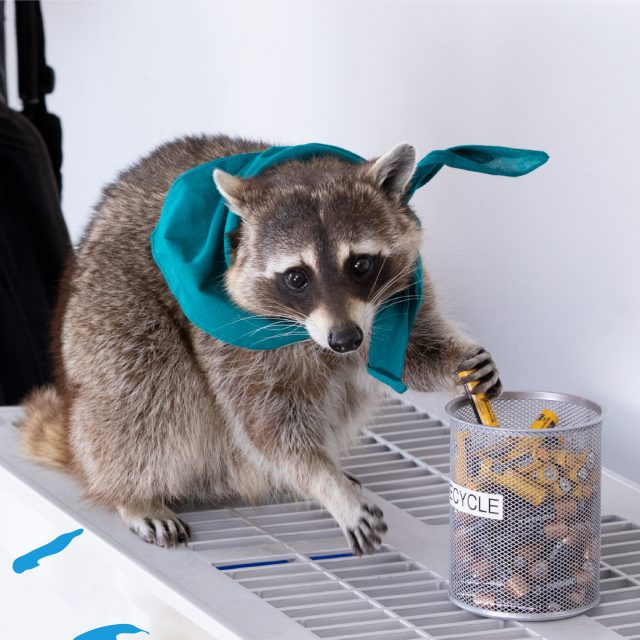 A raccoon wearing a blue scarf holds a battery
